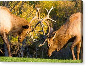 Two Elk Bulls Sparring Canvas Print by James BO  Insogna