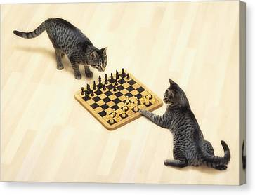 Two Grey Tabby Cats Playing Canvas Print by Thomas Kitchin & Victoria Hurst
