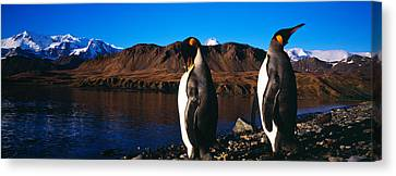 Two King Penguins Aptenodytes Canvas Print by Panoramic Images