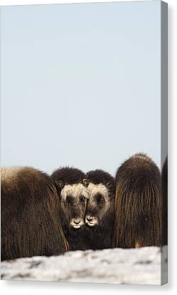 Two Muskox Calves Protected In The Canvas Print by Milo Burcham
