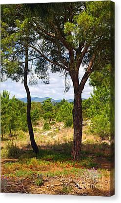 Two Pine Trees Canvas Print by Carlos Caetano