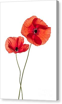 Two Poppy Flowers Canvas Print by Elena Elisseeva