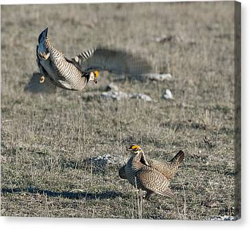 Two Prairie Chickens Fighting Canvas Print by Gary Langley