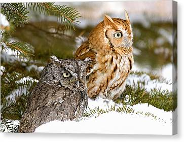 Two Screech Owls Canvas Print by John Pitcher