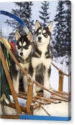 Two Siberian Husky Puppies Sitting In Canvas Print by Jeff Schultz