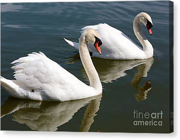 Two Swimming Swans Canvas Print by Carol Groenen