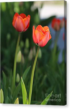Two Tulips Canvas Print by Carol Groenen