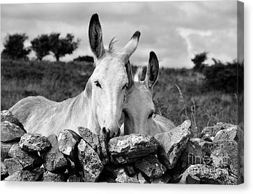 Two White Irish Donkeys Canvas Print by RicardMN Photography
