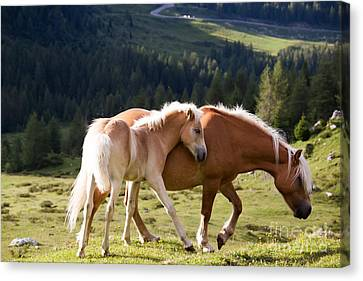 Two Wild Horses Canvas Print by Matteo Colombo