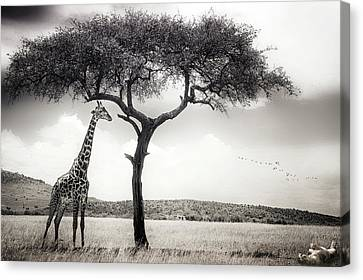 Under The African Sun Canvas Print by Piet Flour