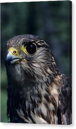 Usa, Alaska, Merlin Falcon, Denali Canvas Print by Gerry Reynolds