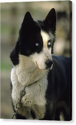 Usa, Alaska, Sled Dog, Dog Sledding Canvas Print by Gerry Reynolds