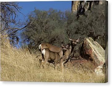 Usa, California, Mule Deer, Doe Canvas Print by Gerry Reynolds