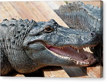 Usa, Florida Gatorland, Florida Canvas Print by Michael Defreitas