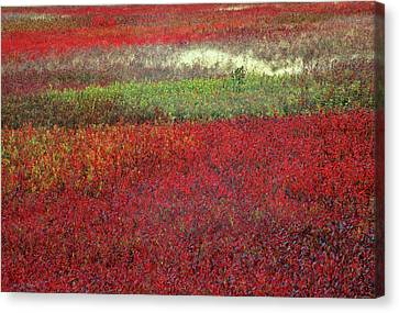 Usa, Maine Blueberry Fields In Autumn Canvas Print by Jaynes Gallery
