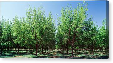 Usa, New Mexico, Tularosa, Pecan Trees Canvas Print by Panoramic Images