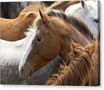 Usa, Washington, Malaga, Horse Head Canvas Print by Jaynes Gallery