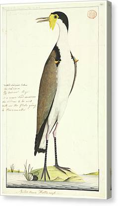 Vanellus Miles Canvas Print by Natural History Museum, London