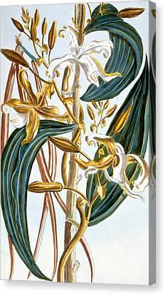 Vanilla Pods Canvas Print by Pierre-Joseph Buchoz