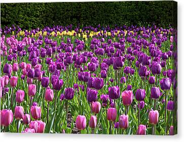 Various Tulip Flowers In A Garden Canvas Print by Panoramic Images