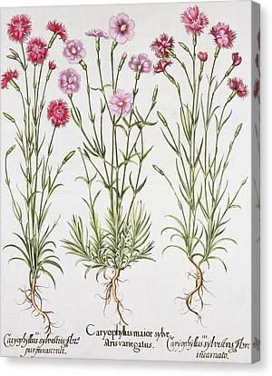 Various Varieties Of Dianthus Canvas Print by German School