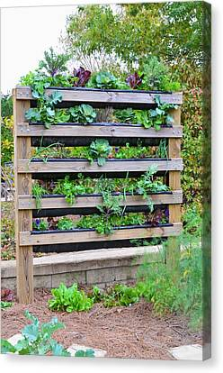 Vegetable Garden 2 Canvas Print by Lanjee Chee