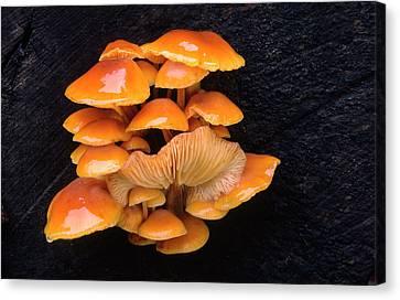 Velvet Shank Fungus Canvas Print by Nigel Downer