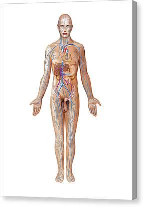 Venous System Canvas Print by Asklepios Medical Atlas