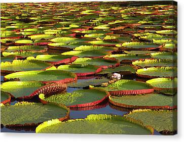 Victoria Amazonica Lily Pads Canvas Print by Keren Su