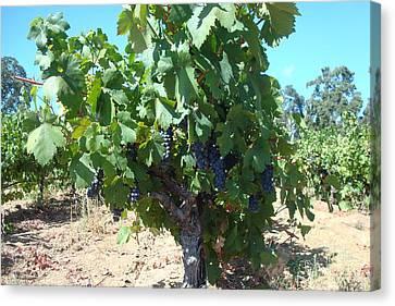 Villa Toscano Vineyards Canvas Print by Susan Woodward
