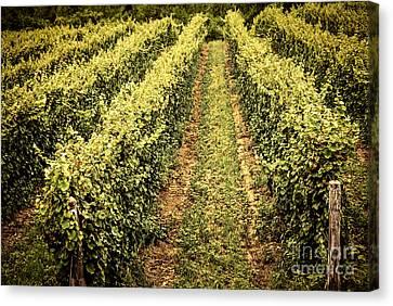 Vines Growing In Vineyard Canvas Print by Elena Elisseeva