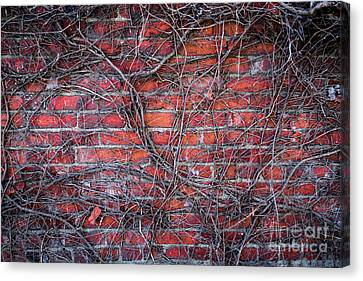 Vines On A Brick Wall Canvas Print by Amy Cicconi