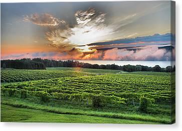 Vineyard At Sunrise Canvas Print by Steven Ainsworth