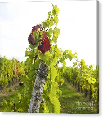 Vineyard Canvas Print by Bernard Jaubert