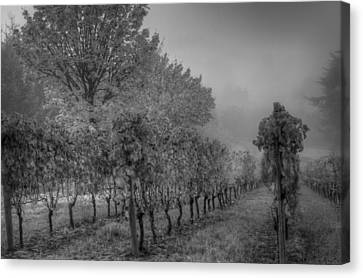 Vineyard Fog Canvas Print by Jean Noren