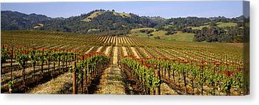 Vineyard, Geyserville, California, Usa Canvas Print by Panoramic Images
