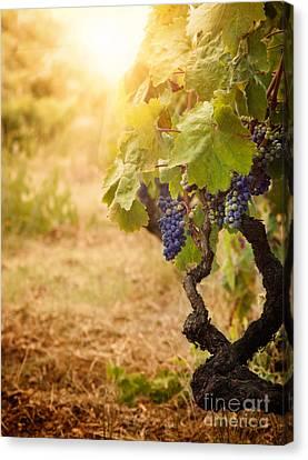 Vineyard In Autumn Harvest Canvas Print by Mythja  Photography
