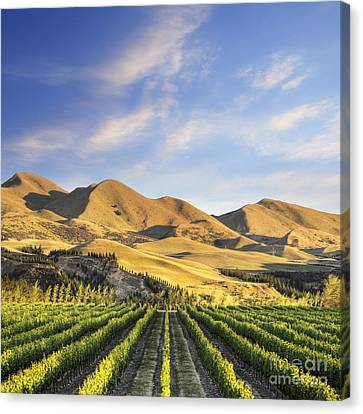 Vineyard In Canterbury New Zealand Canvas Print by Colin and Linda McKie
