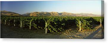 Vineyard On A Landscape, Santa Ynez Canvas Print by Panoramic Images