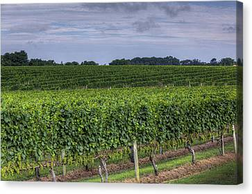 Vineyard Rows Canvas Print by Steve Gravano
