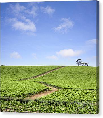 Vineyard South Australia Canvas Print by Colin and Linda McKie