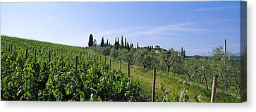 Vineyard, Tuscany, Italy Canvas Print by Panoramic Images