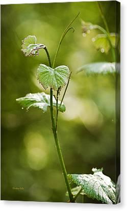 Vineyard Vine Canvas Print by Christina Rollo