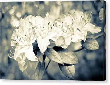 Vintage Rhododendron Spring Canvas Print by Priya Ghose