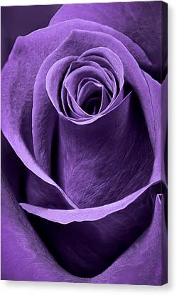 Violet Rose Canvas Print by Adam Romanowicz