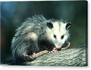 Virginia Opossum (didelphis Virginiana Canvas Print by Richard and Susan Day