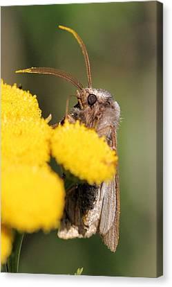 Voluble Dart Moth Canvas Print by Doris Potter