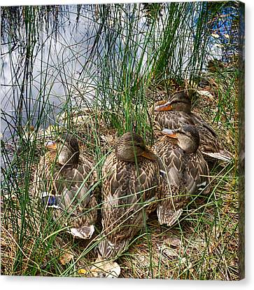 Waddle Of Ducks Canvas Print by Trever Miller