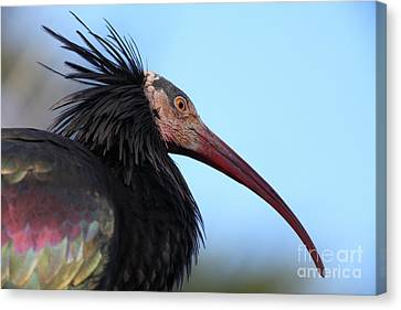 Waldrapp Ibis 5d27031 Canvas Print by Wingsdomain Art and Photography