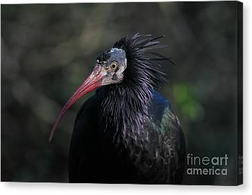 Waldrapp Ibis 5d27039 Canvas Print by Wingsdomain Art and Photography